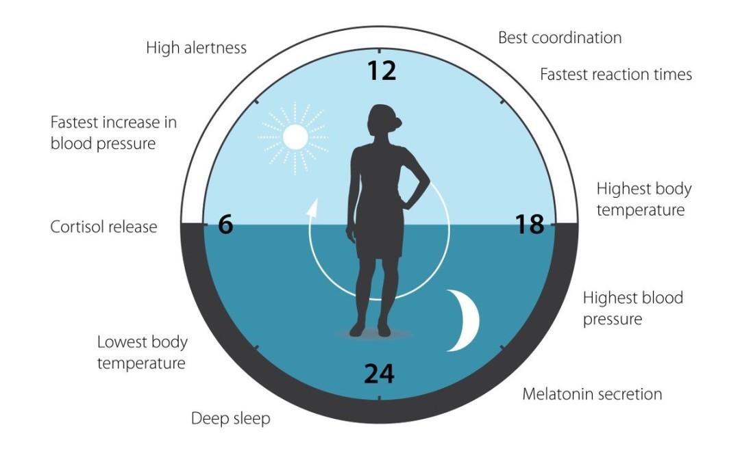 Rytmy okołodobowe a zegar narządów?